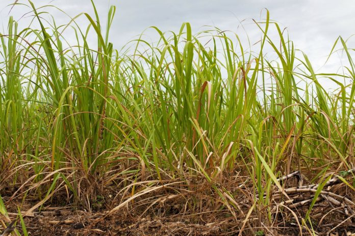 Generating Bioenergy from sugarcane