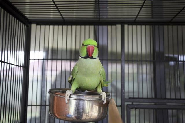 Pang of losing of Liberty – A story about a King and a Parrot